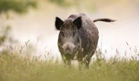 Pigs, pooches and pasteurisation: The changing face of brucellosis in Australia